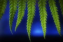 Fern-icle's (Caroline.32) Tags: fern macro leaves backlit blades justleaves extensiontube20mm macromondays nikond7100 18140mmlens