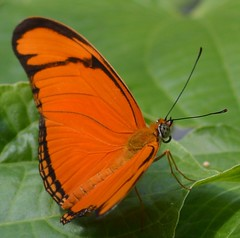 dryas iulia in the shade (brigitte.watz) Tags: butterfly insect insekt orangebutterfly sommerfugl vliegendehollander flambeau dryasiulia juliabutterfly juliaheliconian theflame longlivedanddayactivebutterfly picturefromabutterflyhouse