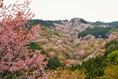 Spring magic (y2-hiro) Tags: mountain cherry spring sakura japa