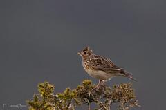 Alauda arvensis (Ferruxe65) Tags: mountain birds wildlife aves montaa commonskylark alaudaarvensis cerdedo laverca pxaros canoneos7d tamron150600 serradoseixo