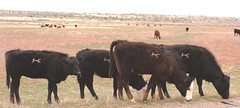 At Home on the Range (Jay Costello) Tags: utah ut cattle cows branded canyonlandsnationalpark canyonlands moab needles needlesdistrict