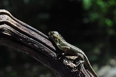 Calotes versicolor (Andi Muhlis) Tags: lizard versicolor gardenlizard calotesversicolor calotes kadal kadalkebun kadalpohon iguanabatu kadalbatu