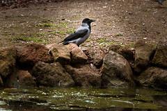 _DSC2264-4 (syderianus) Tags: bird crow uccello cornacchia