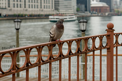 Island Observer (Bruce Livingston) Tags: nyc newyorkcity bird fence pigeon promenade eastriver rooseveltisland hff
