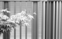 160423_SRT101_008 (Matsui Hiroyuki) Tags: minoltasrt101 fujifilmneopan100acros minoltamctelerokkorpf100mmf25