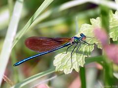 Caloptéryx vierge ♂ (zogt2000 (No Video)) Tags: bretagne demoiselle damselfly calopteryxvirgo pontlabbé caloptéryxvierge