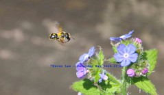 Too Bee or Not To Bee............. (law_keven) Tags: flowers england london insect bees insects bee catford