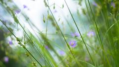 Her gentle touch (Ans van de Sluis) Tags: flower nature floral botanical spring flora soft colours bokeh poppy botanic colourful hortus gentle helios helios442 bokehlicious ansvandesluis