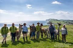 Walk the Wight - West Wight Alpacas (Christian Beasley) Tags: isleofwight alpacas freshwaterbay walkthewight westwightalpacas