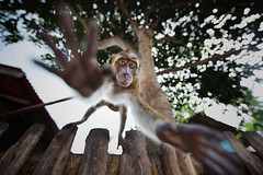 (briyen) Tags: monkey flying wildlife leap icm palawan 2016
