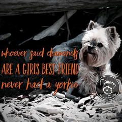 Best friend. No question. (itsayorkielife) Tags: yorkiememe yorkie yorkshireterrier quote