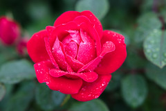 / knockout / (aubreyrose) Tags: flowers red roses plant green rain spring knockout waterdrops springtime aprilshowers mayflowers