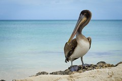 Pelicano (guiporcher) Tags: bird mar nikon aruba ave birdwatching oceano caribe pelicano d7000