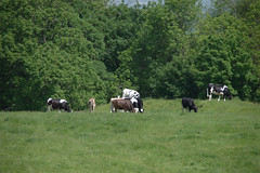 Cows Grrazing on the Hillfort (Lil Shepherd) Tags: somerset landscape cadbury hillfort cows
