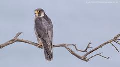 Peregrine Falcon (ian hufton photography) Tags: wild bird kent wildlife birdofprey peregrinefalcon ianhufton