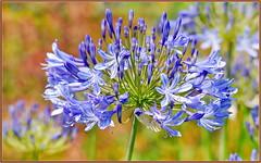 Agapanthus Blooming (tdlucas5000) Tags: flowers flower closeup purple bokeh agapanthus fullsun