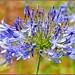 Agapanthus Blooming
