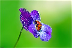 ladybug (franciska_bosnjak) Tags: flower nature animal bug drops nikon ladybug waterdrops d3100