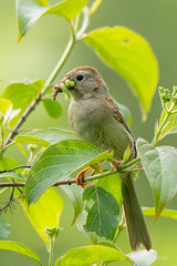 Field sparrow with worm - Glenhurst Meadows, NJ (yinongjiang) Tags: us newjersey unitedstates warren d7200