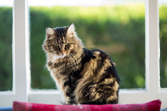 portrait of a cat (keith midson) Tags: home window cat feline f14 85mm sigma ruby browncat