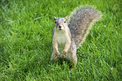 Squirrel I (Photato Jonez) Tags: summer green eye grass animals june fauna campus squirrel squirrels state michigan tail gray lansing sunny east whisker paws common eastern midday claws
