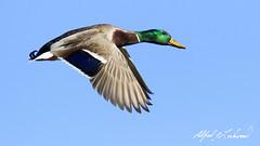 Mallard in Flight (Alfred J. Lockwood Photography) Tags: morning winter bird nature keller duck texas wildlife flight mallard drake clearsky bearcreekpark alfredjlockwood