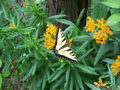 Lunch Time (Flowers Galore) Tags: flowers nature butterfly garden spring bee butterflyweed butterflyattractant beeattractant perennialbloomer