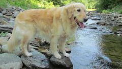 Sunny 26/52 (Lianne (calobs)) Tags: dogs for golden retriever weeks eastern township 52