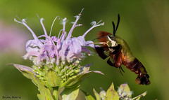 Hummingbird Clearwing Moth (b88harris) Tags: pink flowers summer sun sunlight sunshine insect flying nikon exposure hummingbird purple feeding moth bee 300mm nikkor balm clearwing hawkwing d7200