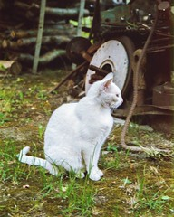 the whitest cat alive (Julie Anne Noying) Tags: white animals analog cat 35mm nikon filmphotography nikonf55 f55