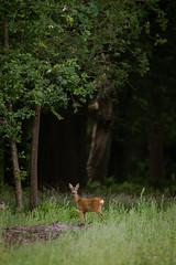 Roe Deer - HSK_0989 (Hasan Karaglmez) Tags: netherlands forest canon contemporary sigma 7d roedeer ree capreoluscapreolus hasankaragulmez 150600mm hasankaraglmez