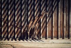 Girafe (Stefan Bodar) Tags: france art de zoo photo nikon raw lyon stefan rayure girafe artiste artistique bodar