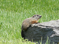 Young Groundhog 1 (Photo Squirrel) Tags: baby grass rock mammal woodchuck groundhog brunswickmd whistlepig marmotamonax
