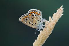 Polyommatus icarus (3) (JoseDelgar) Tags: josedelgar insecto mariposa polyommatusicarus coth coth5 fantasticnature alittlebeauty sunrays5 platinumheartaward ngc npc