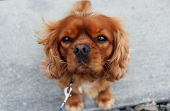 Gordy (mootzie) Tags: ginger fluffy dog gordon cute eyes brown whiskers lead walking spaniel king charles