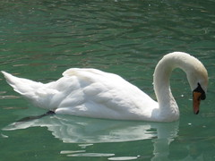 Swan (Trabzon, Turkey) (Sasha India) Tags: bird turkey swan tour trkiye turquie trkorszg trkei gira trabzon turqua  wisata  wycieczka turcja        turki