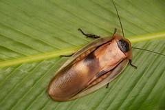 Giant Cave Roach (Blaberus giganteus) (Douglas Heusser) Tags: roach insect giant costa rica arthropod night canon macro photography tamron 90mm lens up close wildlife nature caribbean rainforest