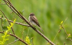 7K8A3782 (rpealit) Tags: scenery wildlife nature east hatchery alumni field hackettstown eastern phoebe bird