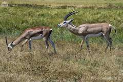 coppia di Gazzelle di Grant, couple of Grant's Gazelles, Nanger granti (paolo.gislimberti) Tags: tanzania ngorongoro africanparks parchiafricani africanmammals mammiferiafricani erbivori herbivores ungulates ungulati gazzelle gazelles animaliambientati animalsintheirenvironments savana savannah animalbehavior comportamentoanimale corteggiamento courtship safarifotografico photographicsafari