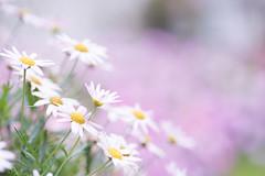 _dsc4366-A7s-Olympus 90mm F2 (JaS Photoland) Tags: flower sony olympus om a7 candycolor om90 a7s olympus90mmf2 sonya7s olympus90mmf2macro