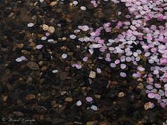 Fallen Blossoms (Sound Quality) Tags: travel pink flowers tourism nature rain japan canon temple spring kyoto blossoms culture floating buddhism unesco 桜 日本 sakura cherryblossoms shinto 清水寺 kiyomizudera worldheritage canong6 春 はる さくら 京都市 spirit7628yahoocom httpwwwtumblrcomblogsoundquality httpwwwflickrcomphotosmichaelwashingtonphotography