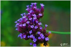 PETALES ET COULEURS (Gilles Poyet photographies) Tags: nature fleurs soe auvergne puydedme autofocus royat aplusphoto parcbargoin artofimages rememberthatmomentlevel1