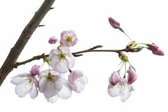 cherry blossoms, Vancouver (gks18) Tags: park pink flowers white vancouver garden spring haiku blossoms cherrytree