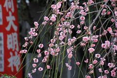 (  / Yorozuna) Tags: pink plant flower japan shrine blossom hiroshima  cherryblossom    hiroshimacity  weepingcherry        hijiyama  cerasusspachianafspachiana hijiyamashrine hijimountain  hijiyamamountain mthiji mthijiyama