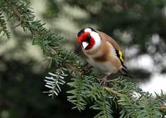 Goldfinch (jamesdewar99) Tags: garden scotland wildlife goldfinch springtime canon7d