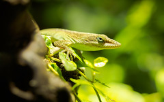 062/365: Anolis Carolinensis (haslo) Tags: macro green nature bokeh branches olympus lizard tiny tele perched omd em1 camouflaged project365 taggedytag 115in2015