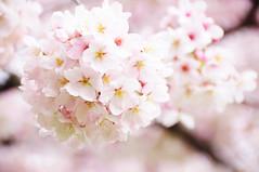 Cherry blossoms @ v @ (Athena Roseanna Tse) Tags: flower uw cherryblossom universityofwashington