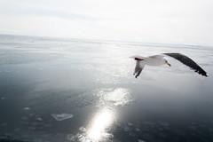 Flying away / 飛び去る (yanoks48) Tags: sea bird japan hokkaido seagull 北海道 日本 海 鳥 abashiri 網走 カモメ オホーツク海 seaofokhotsk