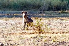 Hyena Watches As We Walk By