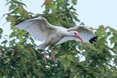 2015_03_11_0807.jpg (Lake Worth) Tags: bird nature birds animal animals canon wings florida wildlife feathers wetlands everglades waterbirds southflorida 2xextender sigma120300f28dgoshsmsports